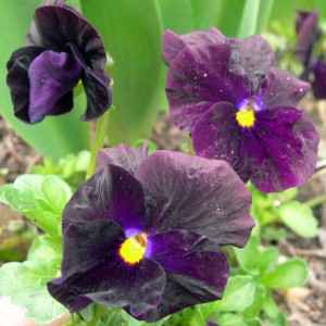 three pansies
